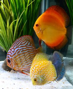 We at Krill Aquaria are aquarium enthusiasts who wish to share our experiences, techniques and devices we utilize to enjoy nature's aquatic artistry. Tropical Freshwater Fish, Tropical Fish Tanks, Freshwater Aquarium Fish, Discus Aquarium, Discus Fish, Betta Fish, Acara Disco, Beautiful Sea Creatures, Paludarium