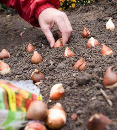 No-Fail Tips for Planting Your Favorite Bulbs Tips for planting bulbs - how to get blooms in spring, summer, and fall!Tips for planting bulbs - how to get blooms in spring, summer, and fall! Garden Bulbs, Garden Plants, House Plants, Fruit Garden, Planting Tulips, Growing Tulips, Spring Bulbs, Spring Blooms, Summer Bulbs