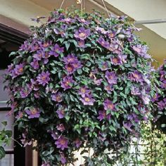Clematis in hanging basket... I never thought about using Clematis in a basket, good idea.