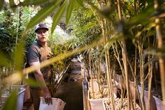Culture: Too High To Fail: Inside Denver's Weed Boom Gaia's master grower Phillip Hague, with some of his Afghan-derived plants.