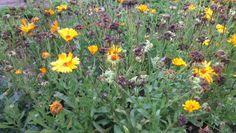 Souci, Calendula officinalis, ASTERACEES, Septembre 2013, antiinflammatoire, antispasmodique, vulnéraire, cicatrisant Calendula, 2013, Gardens, September, Earth, Plant