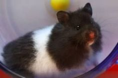 Black and white syrian hamster, long haired Bear Hamster, Hamster Life, Hamster House, Long Haired Hamster, Animals And Pets, Funny Animals, Small Animals, What Is Cute, Syrian Hamster