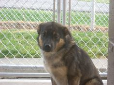 # 10 URGENT! ( FERAL MALE ABOUT 1 1/2) is an adoptable Shepherd Dog in Carrollton, OH. Available for a limited time from the Carroll County Dog Pound, 2185 Kensington Rd. NE, Route 9, Carrollton, Ohio...