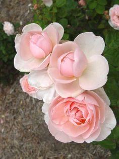'Chaucer' | David Austin English Rose - Austin 1979 Love Rose, Pretty Flowers, Beautiful Roses, Beautiful Gardens, Rose Varieties, Outdoor Plants, Garden Plants, Romantic Roses, David Austin Roses