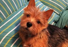 The Norwich Terrier is the dog with the pointed ears, not the floppy ones.