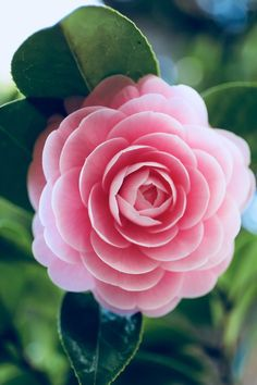 soraniyan: I found a flower brooch. :) 『 Camellia japonica f. Exotic Flowers, Amazing Flowers, Beautiful Roses, Pretty Flowers, Pink Flowers, Lilies Flowers, Tropical Flowers, Yellow Roses, Pink Roses