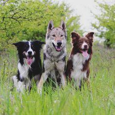 Friends #wolfdog #wolf #czechoslovakianwolfdog #bordercolliesofinstagram #bordercollie #wolfdogofinstagram #dogofinstagram #dogoftheday  #friends #dog #dogofig Czechoslovakian Wolfdog, Border Collie, Husky, Corgi, Friends, Instagram Posts, Animals, Amigos, Corgis