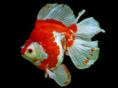 Red white broadtail ryukin