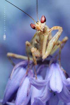 gracile by `Blepharopsis on deviantART.  Creobroter pictipennis - Indian Flower Mantis.