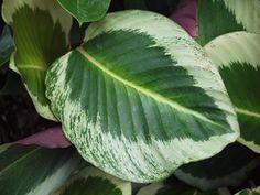 Calathea roseo picta'Mia'