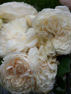 Sombreuil, a antique climbing rose