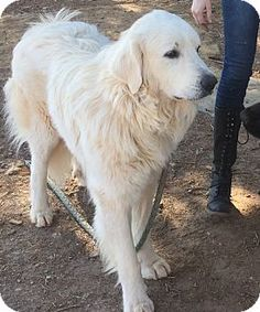 2/3/17 Claremont, NC - Great Pyrenees. Meet Dobson a Dog for Adoption.