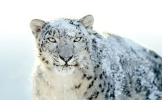 Snow Leopard (Panthera Uncia) is one of the rarest specie of big cats existing in the world. It is found between 3,000 and 5,500 meters  above sea level in the high and snowy mountain ranges of Pakistan, Afghanistan, Bhutan, China, India, Kazakhstan, Kyrgyzstan, Mongolia, Nepal, Russia, Tajikistan, and Uzbekistan.