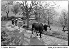 Cows Coming Home to be Milked. James Ravilious - Prints & pictures - Ben Pentreath Ltd. Longhorn Cow, Black Cow, Animal Magic, All Gods Creatures, Coming Home, France, Local Artists, Black And White Photography, Vintage Photos