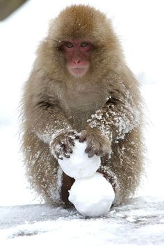 Japanese macaques are more commonly known as a snow monkeys. They live the north of Japan and are often found bathing in hot springs. This young monkey has made some snowballs