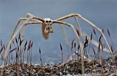 Ogre-faced spider 3