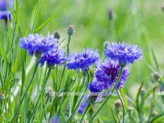 The last cornflowers this year by Greet * Wild Flowers, Purple, Blue, Green, Plants, Image, Photos, Pictures, Wildflowers
