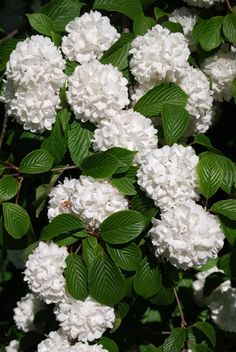 White snowball bush-I used to have one of these in the back yard of my previous house, it only blooms in the spring but was the size of a small tree, really amazing and beautiful!