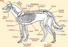 dog anatomy diagram | The coat of a dog varies in colours ranging from all black, brown ...