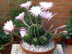 Echinopsis oxygona o multiplex. Sus flores hermosas son un espectáculo!  / Succulents