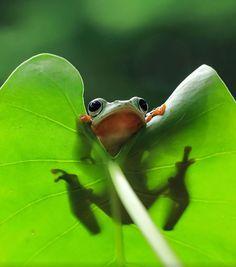 インドネシアの写真家Tanto Yensenが撮影したカエルの写真はどれも素晴らしいものばかり。クオリティが高…