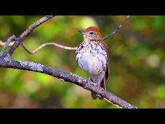 The robust, long-legged Wood Thrush is closely related to thrushes of the genus Catharus, such as the Bicknell's Thrush and Swainson's Thrush. Grassland Habitat, Sound Song, Song Sparrow, Brown Bird, Backyard Birds, Songs To Sing, Environmental Issues, Bird Watching, Long Legs