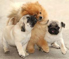 Pugs & Pomeranian