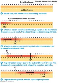Propagated action potential is the nerve impulse