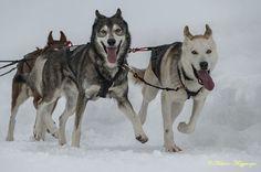 #sleddog #neve #cani #slitta
