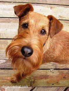 Irish Terrier--gotta love this face.