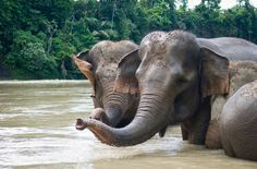 In the primary forest of Sepintun lives a group of the last Sumatra elephants. However, their habitat is increasingly dominated by palm oil, ...