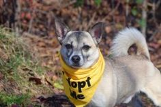 Staten Island ARGO – A1098329  MALE, GRAY, SHIBA INU / CHIHUAHUA SH, 5 yrs OWNER SUR – EVALUATE, NO HOLD Reason PERS PROB Intake condition UNSPECIFIE Intake Date 11/30/2016, From NY 11223, DueOut Date 11/30/2016,
