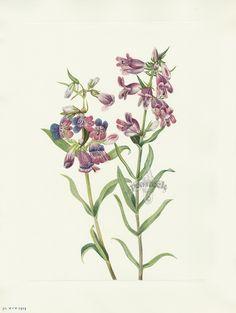 Walcott North American Wild Flower Prints 1925