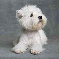 West Higland White Terrier Puppy
