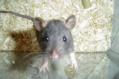 How to Train Pet Rats