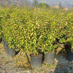 Zilverbladige olijfwilg (Elaeagnus ebbingei 'Limelight')
