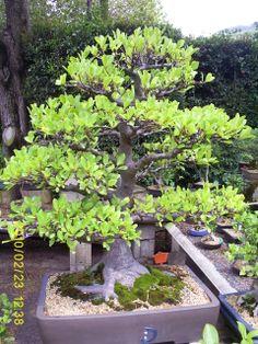 Bonsai Bonsai, South Africa, Gardening, Plants, Lawn And Garden, Plant, Planets, Horticulture, String Garden