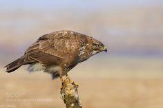 Common Buzzard by spiljar #animals #pets #fadighanemmd