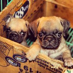 Cute pugs in a box