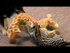 Ocelot Kitten Santos and Dog Blakely Play One on One - Cincinnati Zoo - YouTube