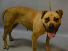 07/26/2016 SUPER URGENT Brooklyn Center NYC - TO BE DESTROYED - ADOPT EX-PET BELLA – A1081664  FEMALE, TAN, AM PIT BULL TER MIX, 3 years old, given up by owner, Reason PERS PROBS, ASSESSMENT URGENTLY REQUIRED BY MEMBER OF THE PUBLIC TO DETERMINE TEMPERAMENT BEFORE ADOPTION CAN TAKE PLACE, Allowed all handling, knows commands, Intake Date 07/17/2016, From NY 11420, past Due Out Date 07/17/2016.