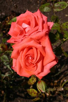'Beauty Star' | Hybrid Tea Rose. Gareth Fyers, 2010 |  Flickr - © Angelina Moser