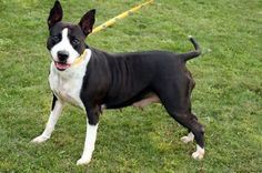 """03/25/15-Meet """"TITAN"""" (handsome & sweet all rolled in to one lovable dog) Please stop by & meet this wonderful boy soon!!!! BECKLEY, WV...Raleigh County .. https://www.petfinder.com/petdetail/29541658/"""