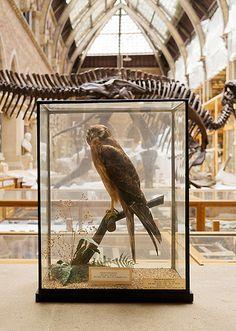 Pitt Rivers Oxford #skeletons #taxidermy #museum #bird