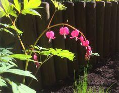 Tränendes Herz Blüte pink Wreaths, Pink, Home Decor, Plants, Florals, Photo Illustration, Decoration Home, Door Wreaths, Room Decor