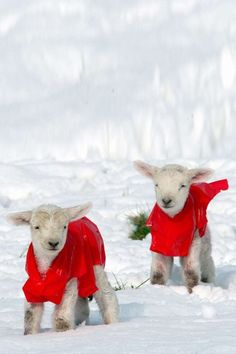Holiday lambs