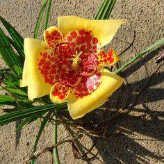 Toujours l'oeil de paon. Les fleurs ne vivent qu'une journée mais mesurent 10cm de diamètre