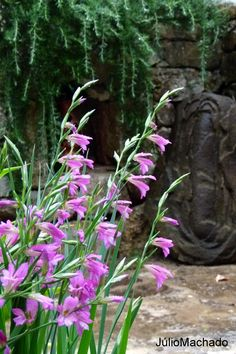 Gladiolus italicus no jardim da Catita.  Flores de abril