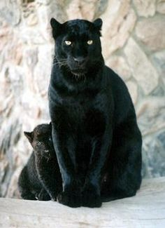 beautiful black panther cub hiding behind it's mother