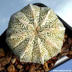 Astrophytum hybrid (asterias x Onzuka)
